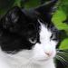 Szürke szemű Kázmér a cica