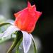 Rózsa szeptemberben