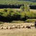 A juhok és a legelő