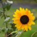 Napraforgó virág ősz napsugarak