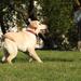 Labrador kiskutya játszik.