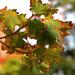 Őszi levelek szárazság
