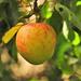 Az elfelejtett alma :)