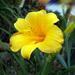 A sásliliom (Hemerocallis)