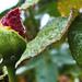Esőcseppek és a rózsabimbó