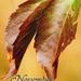 640x960 november vadszőlő levél.png