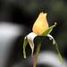 Sárga rózsa októberben