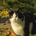 Kázmér cica felkészül a télre,meghízott :D