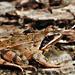 Erdei béka ( Rana dalmatina) A breki