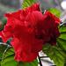 Szobanövény virága Hibiszkusz