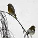 Szakadó hóesés és a madarak