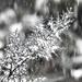 Ciprusfa a hóesésben