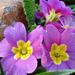 A kankalin (Primula) egy kis napfényben