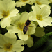 Méhecske Virág Sárga Primrose primula