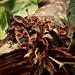 Nem szeretem rovarok Verőköltő bodobács (Pyrrhocoris apterus)