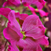 Árlevelű lángvirágok (Phlox subulata)