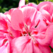 A muskátli (Pelargonium)