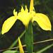 Mocsári nőszirom (Iris pseudacorus)