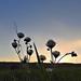 Napnyugta Domboldal Mező Virágok Nyár