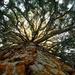 Az óriás mamutfenyő koronája (Sequoiadendron giganteum)