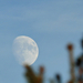 A Hold a fenyőfa mögött