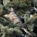 Látjuk egymást A balkáni gerle (Streptopelia decaocto)