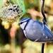 A kék cinege v.kékcinke (Cyanistes caeruleus)