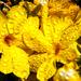 Virágözön Téli Jázmin (Jasminum nudiflorum)
