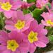 Kankalin ( Primula)