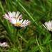 Százszorszép (Bellis perennis)