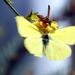 Darázs és a pillangó