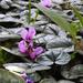 Ciklámen Cyclamen Virág Tavasz