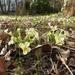 A szártalan kankalin (Primula vulgaris)