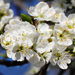 Szilvafa Virágok Tavasz