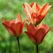 A tulipán (Tulipa)