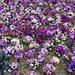 Virágok Árvácska (Viola × wittrockiana)Budapest