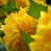 Boglárkacserje (Kerria japonica)