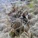 A gyermekláncfű (Taraxacum officinale)