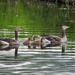 A nyári lúdak,fiókák (Anser anser)