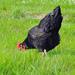 Fekete házityúk (Gallus gallus domesticus)