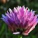 A metélőhagyma vagy snidling (Allium schoenoprasum)