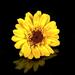 Virág Sárga Tükröződés