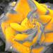 Rózsa Sárga Tavasz Szelektív