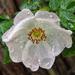 A vadrózsa (Rosa canina