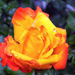 Rózsa Tavasz