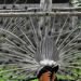 Csak sorban! A kék páva popók (Pavo cristatus)