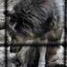 Rácsok mögé születve / A farkas (Canis lupus)