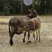A háziszamár (Equus asinus)