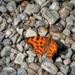 Pillangó Alpok Nyár / A c-betűs lepke (Polygonia c-album)
