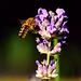 Levendula Méhecske Nyár